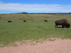 Bisons in Custer State Park