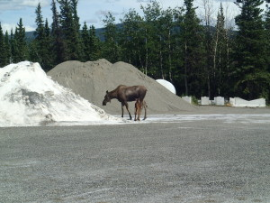 Moose on a salt diet