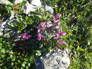 Alpine tundra in bloom