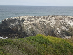 Nesting Sea Birds on the Cliff