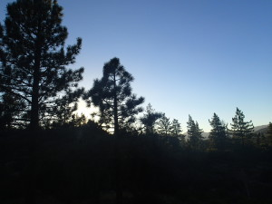 Pine trees in the twilight