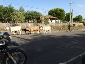Cattle are everywhere on the roads