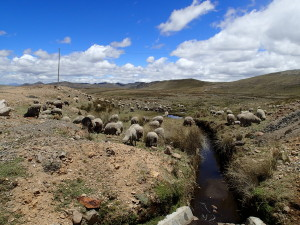 Sheeps grazing in the high Andes Plateau