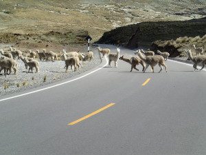 Alpacas crossing the Road