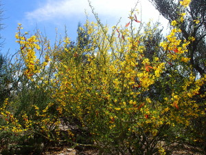recent rain produces an explosion of yellow flowers in the desert