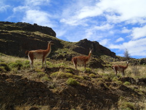 Guanacos everywhere near Park Patagonia
