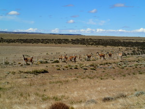Pampa and Guanacos