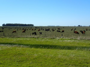 Cattle everywhere, landscape is like SW - Ontario, pasture, soybeans and corn