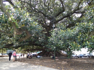 Gigantic Ficus Tree